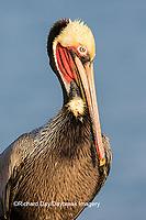 00672-00711 Brown Pelican (Pelecanus occidentalis), La Jolla cliffs, La Jolla, CA