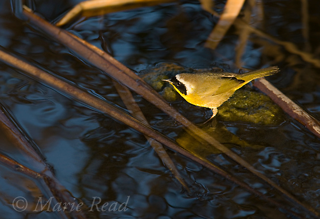 Common Yellowthroat (Geothlypis trichas) male at water's edge in a cattail marsh, Upper Newport Bay, California, USA