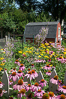 Summer flower perennial garden with Native plant garden: Echinacea purpurea purple coneflowers, Heliopsis, Phlox paniculata, Veronicastrum virginicum, barn shed, garage, blue sky on sunny day, picket fence, in lush bloom, attracts pollinators