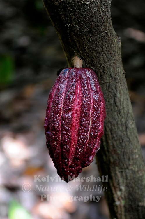 Ripe cacao pods ready to be harvested. The fruit, which will eventually be converted into chocolate, has green, yellow or maroon colored pods on the trunk of the tree and its main branches....Ambanja, Northern Madagascar.