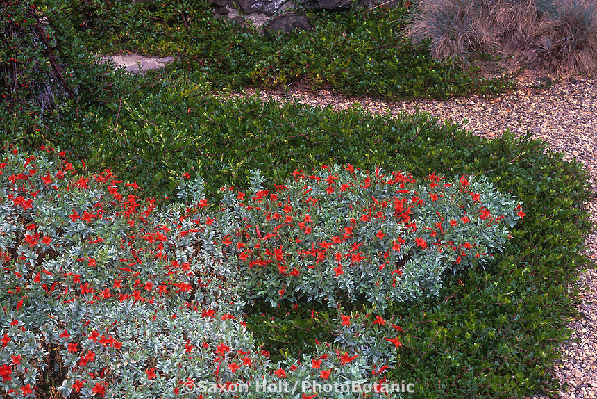 Epilobium septentrionale 'Select Maytole' (California Fuchsia) silver gray foliage native groundcover in flower with Arctostaphylos