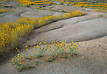 Carrizo Plain National Monument, CA: Flowering fiddlenecks (Amsinckia sp) in a sloping dry wash