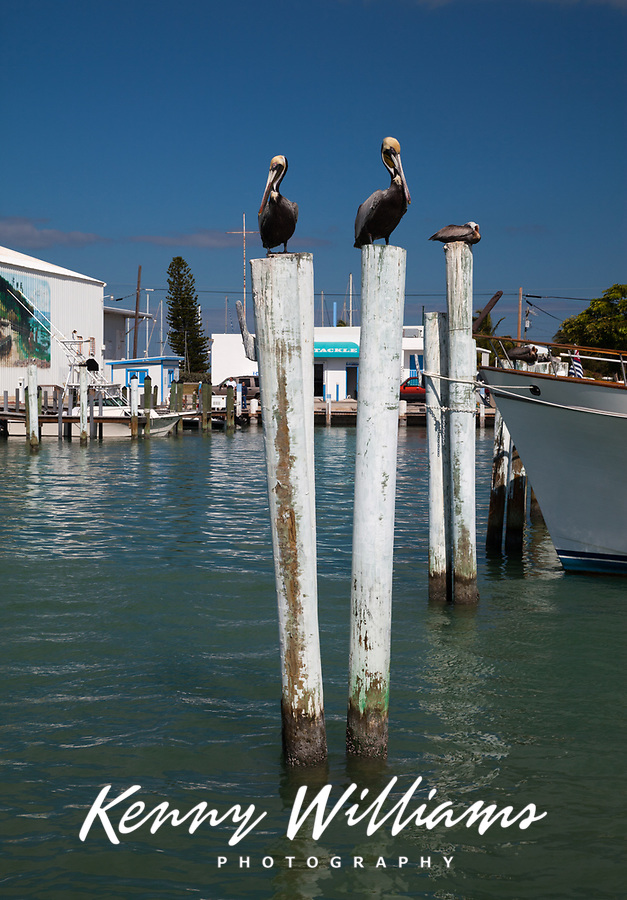 Brown Pelicans, Birds, Caloosa Cove Marina, Matecube Key, Florida Keys, FL, America, USA.
