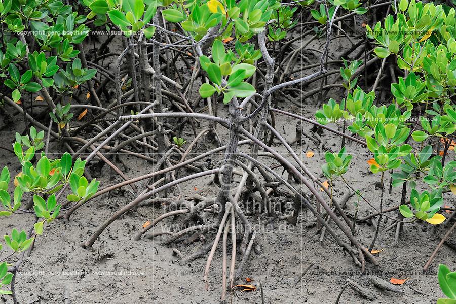 "Afrika Ostafrika Kenya , Mombasa , Ort Majaoni , Mangroven -  Kuestenschutz | .Africa Kenya Mangroves .| [ copyright (c) Joerg Boethling / agenda , Veroeffentlichung nur gegen Honorar und Belegexemplar an / publication only with royalties and copy to:  agenda PG   Rothestr. 66   Germany D-22765 Hamburg   ph. ++49 40 391 907 14   e-mail: boethling@agenda-fototext.de   www.agenda-fototext.de   Bank: Hamburger Sparkasse  BLZ 200 505 50  Kto. 1281 120 178   IBAN: DE96 2005 0550 1281 1201 78   BIC: ""HASPDEHH"" ,  WEITERE MOTIVE ZU DIESEM THEMA SIND VORHANDEN!! MORE PICTURES ON THIS SUBJECT AVAILABLE!! ] [#0,26,121#]"