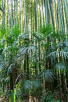 France, Gard, Générargues, LA BAMBOUSERAIE : bambous, Phyllostachys bambusoides et palmiers de Chine, Trachycarpus fortunei.