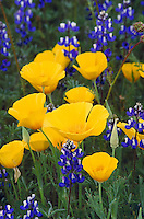poppies and lupine in meadow. poppy, flower, California state flower, wildflower, spring, summer, season. California.