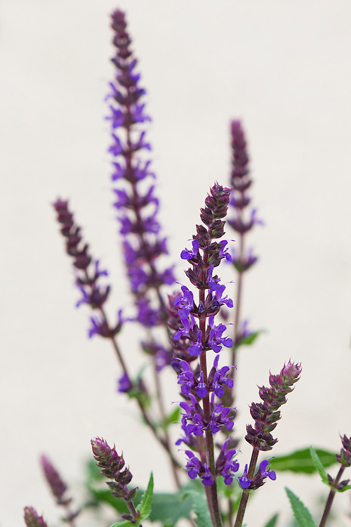 Salvia nemorosa 'Wesuwe'. Sometimes known as Balkan clary.