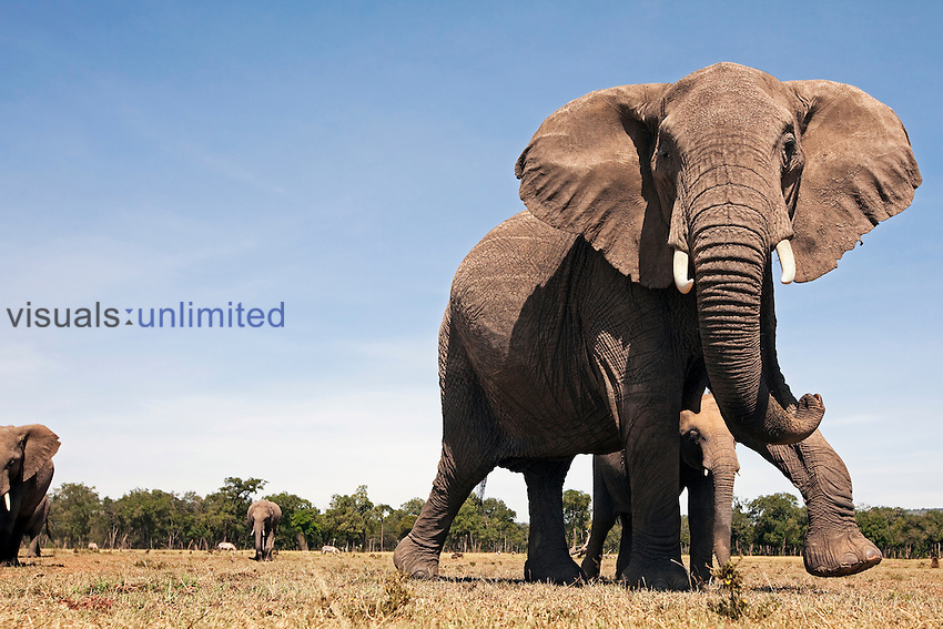 African Elephant showing defensive behavior to protect young (Loxodonta africana), Masai Mara, Kenya.