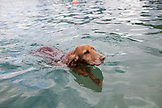 FRENCH POLYNESIA, Moorea. Dog swimming in water.