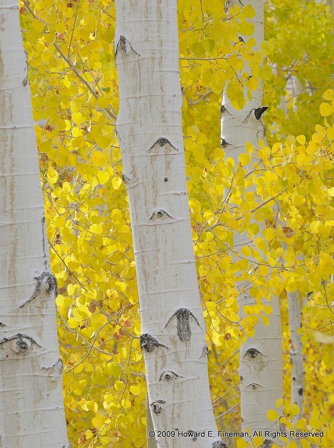 Aspens Near Mono Lake