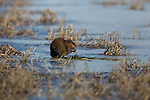 Muskrat foraging on a wilderness lake in Wisconsin