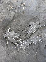 leatherback sea turtle hatchlings, Dermochelys coriacea, leaves nest, Dominica, West Indies, Caribbean, Atlantic