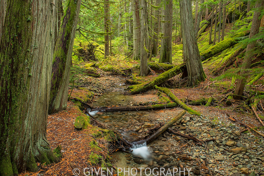 Old cedar trees and creek, Washington