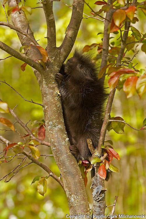 Common Porcupine (Erethizon dorsatum), baby climbing in tree, Kettle River, Minnesota, USA, captive animal animal-baby baby-animal baby-porcupine common-porcupine innocence juvenile mammal naivet? natural natural-world nature porcupine untamed wild wildli
