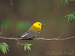Prothonotary Warbler (Prothonotaria citrea) male in breeding plumage, Arkansas, USA<br /> Slide # B161-406
