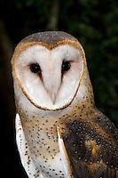 Barn Owl, Tyto alba, Florida