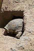 0609-1016  Desert Tortoise Retreating into Burrow to Escape Heat (Mojave Desert), Gopherus agassizii  © David Kuhn/Dwight Kuhn Photography