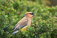Cedar Waxwing (Bombycilla cedrorum) eating berry, Western U.S., summer.