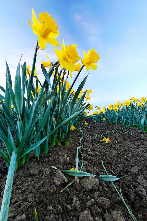 Yellow daffodils growing from rich soil, Mount Vernon, Skagit Valley, Skagit County, Washington, USA