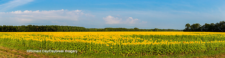 63801-06904 Sunflower field Sam Parr State Park Jasper County, IL