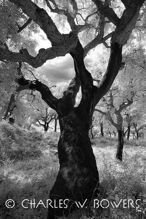 Cork Tree in Sicily. Abandon cork forests due to cork being replaced by plastic. Magnificent old cork tree image. Infrared capture.<br />