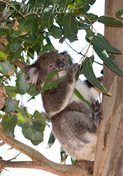 Koala (Phascolarctos cinereus) feeding on eucalyptus leaves, Kangaroo Island, Australia.