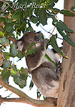 Koala (Phascolarctos cinereus) feeding on eucalyptus leaves, Kangaroo Island, Australia.