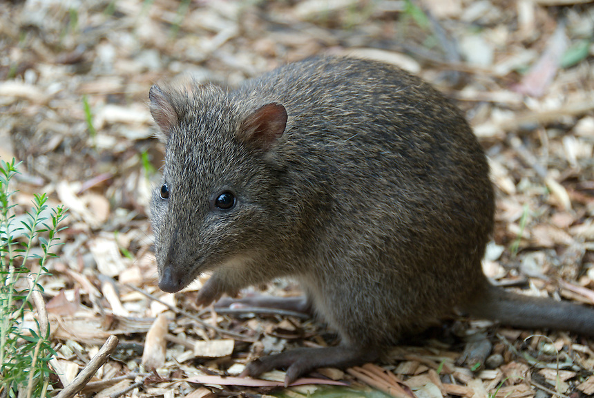 Potoroo at Cleland Wildlife Park, Adelaide, South Australia.