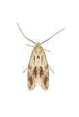 38.039 (0609)<br /> Elachista maculicerusella