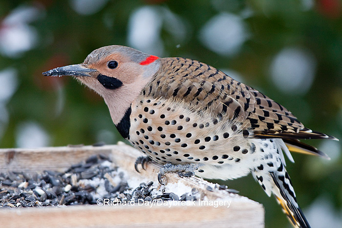 01193-016.15 Northern Flicker (Colaptes auratus) male on sunflower tray feeder in winter, Marion Co., IL