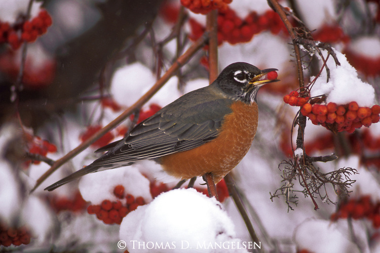 Robin perches in a mountain ash and feeds on the berries.