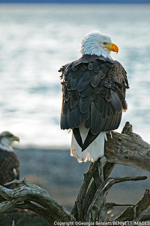 Bald Eagle perched on Homer Spit