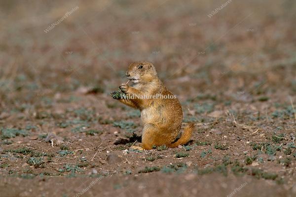 Black-tailed Prairie Dog, Cynomys ludovicianus;  Janos Grasslands; Mexico