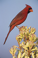 Northern Cardinal, Cardinalis cardinalis,male on blooming Trecul Yucca (Yucca treculeana), Lake Corpus Christi, Texas, USA