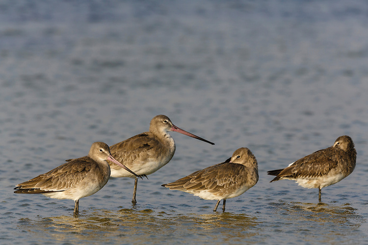 Black-tailed Godwit - Limosa limosa - Winter Adults. L 35-40cm. Large wader with long, slightly upturned bill. Looks shorter-legged than Black-tailed. In flight, note absence of wingbar on upperwing; white rump extends as wedge to lower back and tail is barred. Sexes are dissimilar in summer. Adult male in breeding plumage has reddish orange head, neck and underparts. Back is spangled grey, black and pale buff. Adult female in breeding plumage has buffish orange wash on head, neck and breast, pale belly and greyish back. Winter adult has grey-brown head, neck and upperparts; underparts are pale. Juvenile recalls winter adult but has buffish wash to head, neck and upperparts. Voice Utters a sharp kve-wee call in flight. Status Nests in Arctic; non-breeding visitor to coastal Britain and Ireland.