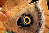 LE41-039a  Polyphemus Moth - close-up of wing of adult - Antheraea polyphemus