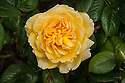 Rosa Toprose ('Cocgold'), mid May. A compact floribunda rose with deep yellow flowers.