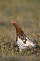 Male Willow Ptarmigan (Lagopus lagopus) calling.  Arctic National Wildlife Refuge, Alaska.  Summer.