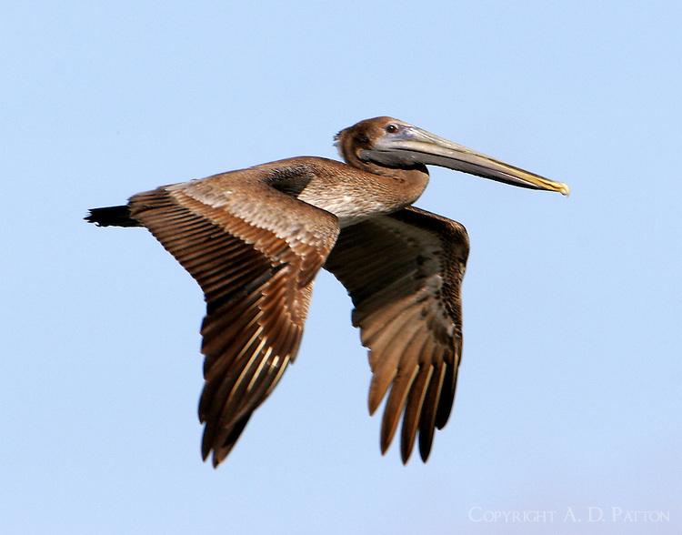 Juvenile brown pelican flying