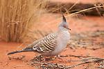 Parc national d'Uluru- Kata Tjuta.pigeon à crête