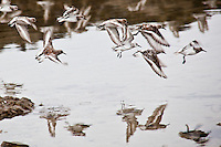 A group of sanderlings takes flight in a hodge-podge of wings, but they'll soon fall into formation.