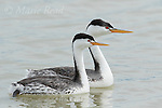 Clark's Grebe (Aechmophorus clarkii) pair swimming, Bear River Migratory Bird Refuge, Utah, USA