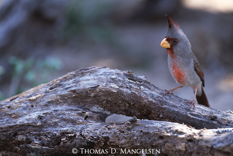 Pyrrhuloxia perched on a log in South Texas.