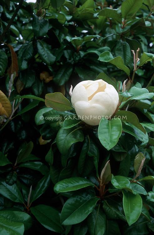 Magnolia grandiflora 'Charles Dickens'