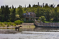 Visitors to Brooks Lodge view brown bears from a viewing platform along the Brooks River, Katmai National Park, southwest, Alaska.
