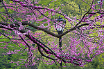 In the midst of busy New York City, the rhythms of nature carry on: cherry trees blossom and leaf out in contrasting hues of pink and green while an old-style lamppost provides an interesting compositional element in the most famous city park in the world.
