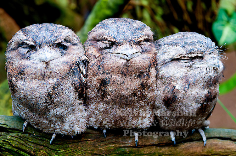 Papuan Frogmouths (Podargus papuensis) is a species of bird in the Podargidae family. It is found in Australia, Indonesia, and Papua New Guinea. Its natural habitat is subtropical or tropical moist lowland forests.