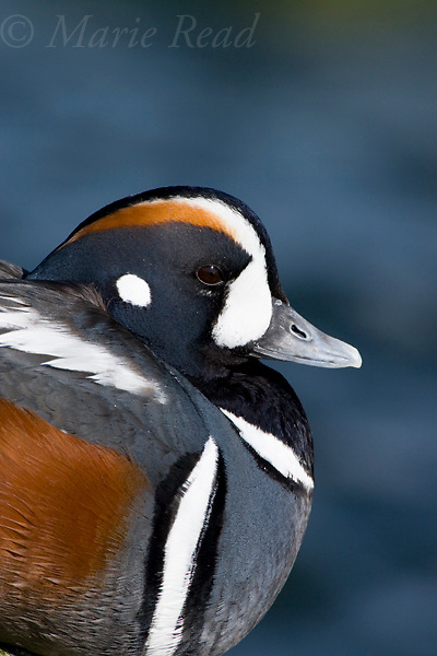 Harlequin Ducks (Histrionicus histrionicus), male close-up, Barnegat Inlet, New Jersey, USA