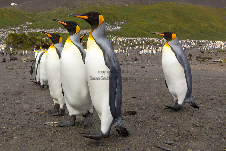 The King penguin colony at Right Whale Bay, South Georgia, Great Britain, UK,