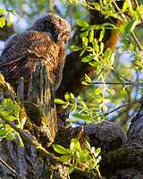 Two Great Horned Owlets (Bubo virginianus) are in their tree hallow on a sunny day with one owlet asleep deep in hallow and the other owlet sitting on branch with one yellow eye looking at viewer in the Ridgefield National Wildlife Refuge